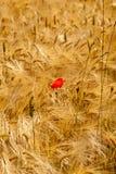 Papoila vermelha Imagem de Stock