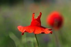 Papoila vermelha bonita imagens de stock
