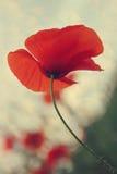 Papoila vermelha contra o céu azul Imagem de Stock Royalty Free