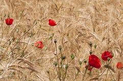 Papoila vermelha em um campo de milho Imagem de Stock