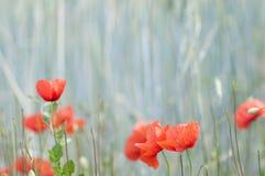 Papoila vermelha em um campo de milho Imagens de Stock