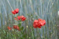 Papoila vermelha em um campo de milho Imagens de Stock Royalty Free