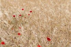 Papoila vermelha em um campo de milho Fotografia de Stock Royalty Free