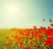 A papoila vermelha floresce o fundo no dia de verão quente Fotografia de Stock Royalty Free