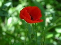 Papoila vermelha na flora foto de stock royalty free