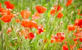 Papoila vermelha na grama verde e papoilas vermelhas Fotos de Stock