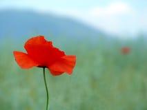 Papoila vermelha no campo verde na perspectiva do monte Foto de Stock
