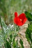 Papoila vermelha no prado. Fotografia de Stock