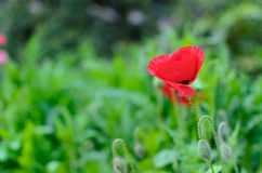 A papoila vermelha nos vidros verdes Imagem de Stock