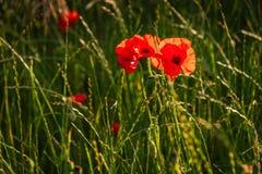 Papoila vermelha retroiluminada Imagem de Stock Royalty Free