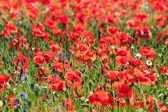 Papoila vermelha selvagem Fotos de Stock Royalty Free