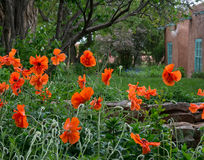 Papoilas alaranjadas brilhantes que crescem em um jardim de Taos New mexico com construção de Adobe no fundo Imagem de Stock