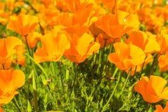 Papoilas alaranjadas em um prado do verão no dia ensolarado Foto de Stock Royalty Free