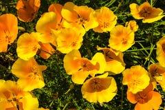 Papoilas alaranjadas em um prado do verão no dia ensolarado Imagens de Stock Royalty Free