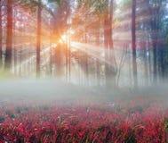 Papoilas alpinas nos Carpathians Foto de Stock Royalty Free