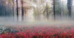 Papoilas alpinas nos Carpathians Imagens de Stock