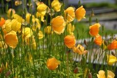 Papoilas amarelas Fotos de Stock Royalty Free