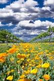 Papoilas amarelas em Texas Vineyard Fotografia de Stock