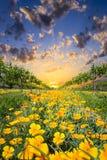 Papoilas amarelas em Texas Vineyard Imagens de Stock
