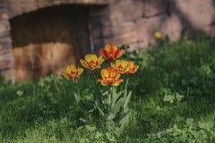 Papoilas amarelas vermelhas na grama verde ao lado da parede velha Imagem de Stock