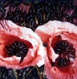 Papoilas cor-de-rosa Imagens de Stock