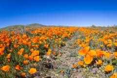 Papoilas de Califórnia - californica de Eschscholzia Foto de Stock Royalty Free