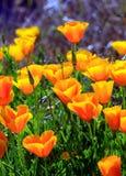Papoilas de Califórnia Imagens de Stock Royalty Free