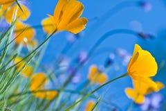 Papoilas de Califórnia e céu azul Fotografia de Stock Royalty Free