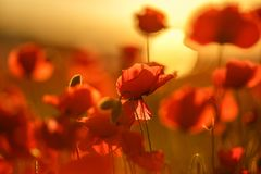Papoilas de campo no por do sol Modo da mola Papoilas vermelhas na luz solar Fotos de Stock Royalty Free