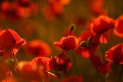 Papoilas de campo no por do sol Modo da mola Papoilas vermelhas na luz solar Foto de Stock Royalty Free