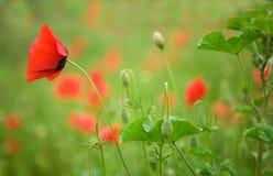 Papoilas de florescência bonitas Imagem de Stock