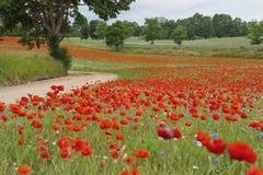 Papoilas de florescência na grama verde Imagens de Stock