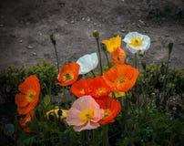 Papoilas de jardim Imagem de Stock Royalty Free