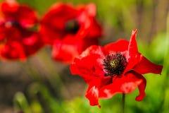 Papoilas de jardim vermelhas Fotografia de Stock Royalty Free