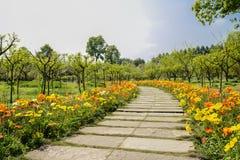 Papoilas de milho de florescência ao longo do trajeto da laje no meio-dia ensolarado da mola Fotos de Stock Royalty Free