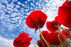 Papoilas de milho vermelhas imagens de stock royalty free