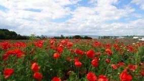 Papoilas de milho vermelhas em um prado vídeos de arquivo
