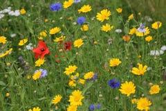 Papoilas do remendo da flor selvagem e flores selvagens misturadas fotografia de stock