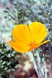 Papoilas douradas de Califórnia no deserto alto de Califórnia do sul Fotografia de Stock Royalty Free