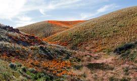 Papoilas douradas de Califórnia no deserto alto de Califórnia do sul Foto de Stock Royalty Free
