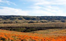 Papoilas douradas de Califórnia no deserto alto de Califórnia do sul Fotografia de Stock