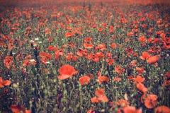Papoilas e fundo vermelhos do campo de grama Imagens de Stock