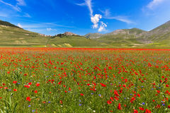 Papoilas e lentilhas de florescência no piano grandioso, Castelluccio, Ital Imagens de Stock Royalty Free