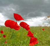 Papoilas em um campo abaixo de um céu cinzento imagem de stock