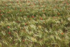 Papoilas em um campo de trigo Imagens de Stock