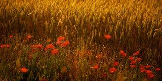 Papoilas em um campo de trigo no crepúsculo Imagem de Stock Royalty Free