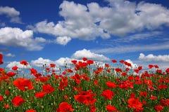 Papoilas em um fundo do céu azul Fotografia de Stock Royalty Free