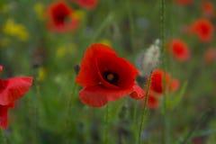 Papoilas Flores vermelhas das papoilas Papoilas no jardim As papoilas saltam e a flor do verão, dia de verão Imagem de Stock