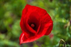 Papoilas Flores vermelhas das papoilas Papoilas no jardim As papoilas saltam e a flor do verão, dia de verão Fotos de Stock