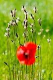 papoilas na frente da grama selvagem Fotos de Stock Royalty Free